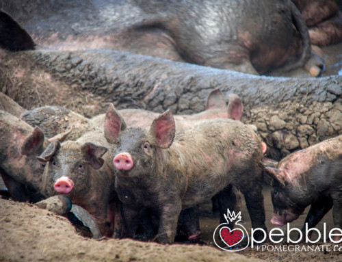Rhodavale Pork… ethically farmed, pastured pork direct to the public