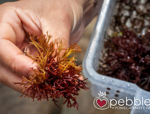 Wild Forage Australia… foraging for seaweed for inspired chefs of the Sunshine Coast, Brisbane and beyond