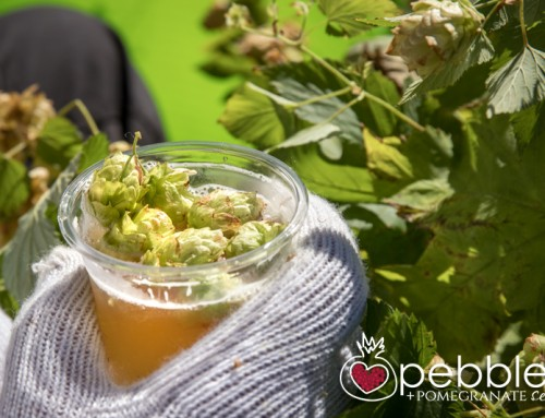 Red Hill Brewery… annual hop harvest on the Mornington Peninsula